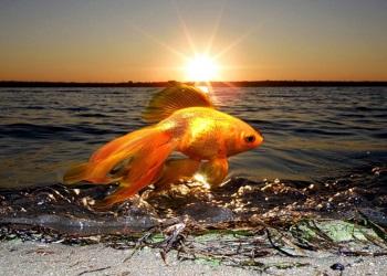 """""""Золотая рыбка"""
