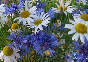 Ромашка, ромашка — цветок полевой. С ней рядом зацвёл василёк голубой