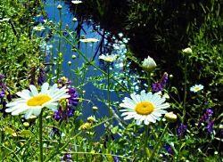 Ромашки, родные ромашки У синей прозрачной реки.