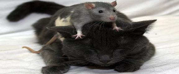 Необычное строение тела крысы