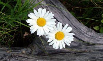 Ромашка с мая месяца. На счастье вам, на радость вам. Растет, цветет и светится.